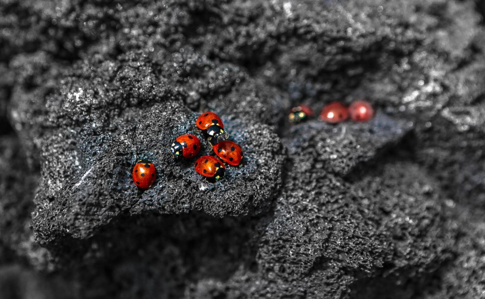 A group of lady bugs on the Volcano