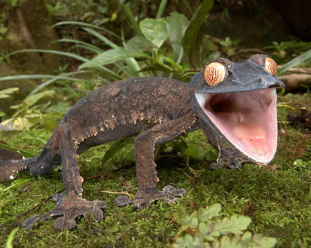 """Dude, I told me Giant Leaf-Tailed Gecko that he may be living with you this weekend and he look STOKED"""