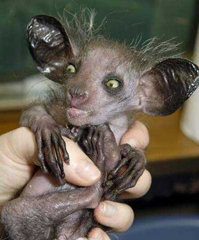 """Hey!  Would you mind taking care of my Aye-Aye for a few days?"""